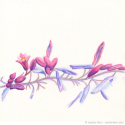 Pink-Flowering-Vine-I-Colored-pencil-on-paper-8x8-inches-copyright-2012-Marilyn-Fenn